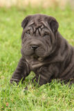 Gorgeous Shar Pei puppy sitting Stock Photo