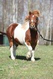 Gorgeous Shetland pony running Stock Photos
