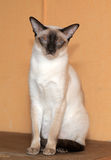 Gorgeous Siamese cat Royalty Free Stock Images