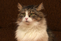 Gorgeous Siberian cat. Brown with white Stock Photo