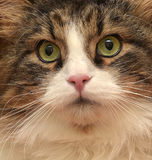 Gorgeous Siberian cat. Brown with white Royalty Free Stock Photography