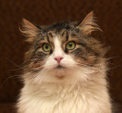 Gorgeous Siberian cat. Brown with white Stock Images
