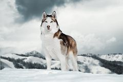 Gorgeous Siberian Husky dog standing on top of mountain next to cliff stock photography