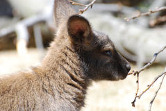 Gorgeous Side View of a Wallaby Stock Images