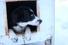Gorgeous sled dog in his Hut sheltered from snow. Scene in Sweden north of the arctic circle Stock Photography