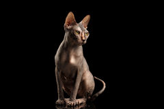 Gorgeous Sphynx Cat Sitting Curious Looks Isolated on Black Stock Photo