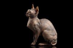 Gorgeous Sphynx Cat Sitting Curious Looks Isolated on Black Stock Photos