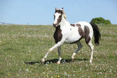 Gorgeous spotted horse running on spring pasturage Royalty Free Stock Photography