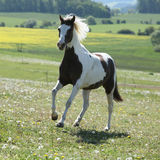 Gorgeous spotted horse running on spring pasturage Royalty Free Stock Photo