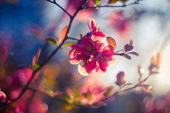 Gorgeous Spring blossom in the sunlight. Branch with pink sakura blossoms. Natural background. Spring concept Royalty Free Stock Photo