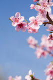 Gorgeous spring cherry flowers in sunshine. Royalty Free Stock Photos