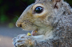 Gorgeous  squirrel. Eating a nut Stock Photo