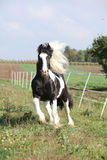 Gorgeous stallion with long flying mane Stock Photography
