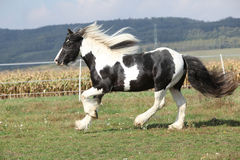 Gorgeous stallion with long flying mane Stock Photos