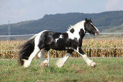Gorgeous stallion with long flying mane Royalty Free Stock Photography