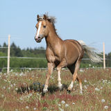Gorgeous stallion running on spring pasturage Stock Photography