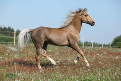 Gorgeous stallion running on spring pasturage Stock Photos