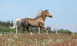 Gorgeous stallion running on spring pasturage Royalty Free Stock Photo