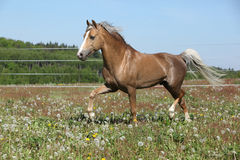 Gorgeous stallion running on spring pasturage Royalty Free Stock Photography
