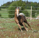 Gorgeous stallion running on spring pasturage Royalty Free Stock Image