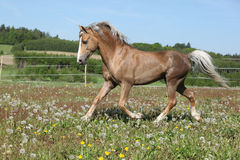 Gorgeous stallion running on spring pasturage Stock Image