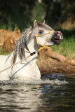 Gorgeous stallion which is bathing in river Stock Image