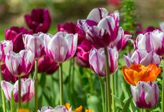 Gorgeous sun lit field of a variety of tulips types royalty free stock photos