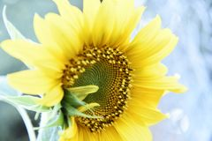 Gorgeous sunflower bursting with color stock photography