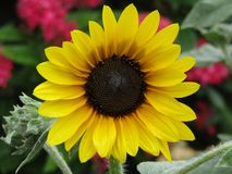 A Gorgeous Sunflower day. Vibrant colors, stunning details will surely brighten anyone`s day. Display this photograph with pride stock images