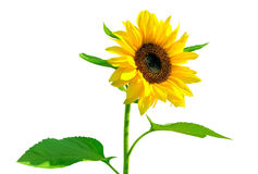 Gorgeous sunflower with green leaves Royalty Free Stock Photos