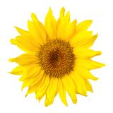 Gorgeous sunflower on white Stock Image