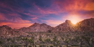 Gorgeous Sunrise over a Cactus Forest and Boulders in Joshua Tree National Park stock image