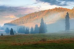 Gorgeous sunrise in romanian mountains. Foggy countryside autumn scenery. spruce trees on the meadow. flock of sheep in the distance. light touches the top of royalty free stock photos