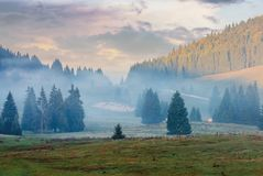 Gorgeous sunrise in romanian mountains. Foggy countryside autumn scenery. spruce trees on the meadow. flock of sheep in the distance. light touches the top of stock images