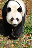 Gorgeous Sweet Giant Panda Bear Ambling Along Royalty Free Stock Photos
