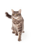 Gorgeous Tabby Cat Walks Towards The Camera. A gorgeous Taby Cat walking towards the camera and looking out into the distance Royalty Free Stock Image