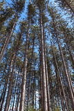 Tall pines in the forest Stock Images