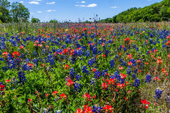 A Gorgeous Texas Meadow Full of Bluebonnets and Indian Paintbrush Wildflowers. Royalty Free Stock Images