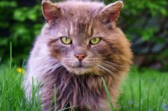 Gorgeous Tom Cat !!!. Look at those eye`s !!! Fierce & mighty but soft and gentle as well royalty free stock photos