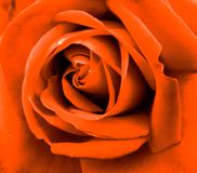 Gorgeous, very beautiful orange rose colors stock images
