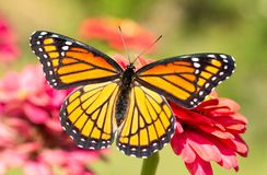 Gorgeous Viceroy butterfly resting on a Zinnia flower with wings wide open royalty free stock photography