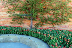 Gorgeous view of bed of red tulips growing under Espalier tree Royalty Free Stock Photography