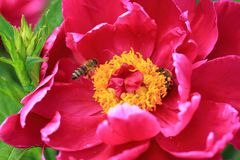 Gorgeous view of bee on pink peon flower. Close up view. Amazing nature background.  Stock Image