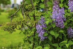 Gorgeous view of purple lilac bushes with fresh green leaves. Beautiful nature backgrounds.  royalty free stock photo