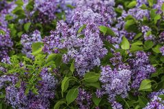 Gorgeous view of purple lilac bushes with fresh green leaves. Beautiful nature backgrounds.  stock images