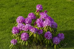 Gorgeous view of purple rhododendron bushes on green lawn background. Beautiful nature backgrounds.  stock images