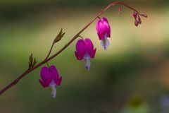 Gorgeous vine of Bleeding Heart Flowers in a garden royalty free stock photo