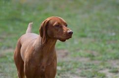 Gorgeous Vizsla Dog. Beautiful vizsla purebred dog with a sweet face Stock Photography