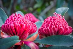 Gorgeous Waratah -Floral emblem of New South Wales. Gorgeus large pink waratahs found in the wild at at Mount Tomah Botanic Garden in the Blue Mountains, New Royalty Free Stock Photo
