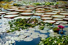 Gorgeous water lilies Stock Photography